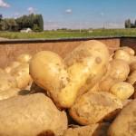Découverte : on a trouvé la pomme de terre du Cœur Joyeux !