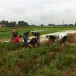 Pas facile la récolte des oignons, et dire que Bruno, Christine et Mathilde font ça toute la journée