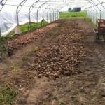 Les échalotes (à gauche) et les oignons vont sécher jusqu'à fin août