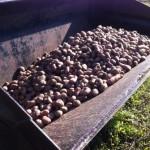 Les pommes de terre attendent patiemment leur départ vers la ferme