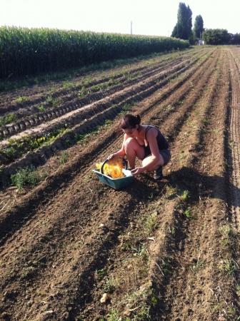 R colte des pommes de terre l 39 amap du coeur joyeux quesnoy sur de le propose chaque semaine - Recolte des pommes de terre ...